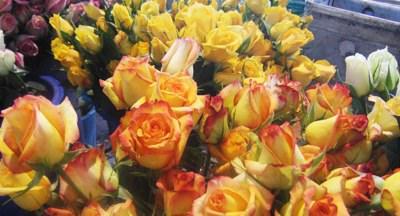 Roses Bogota