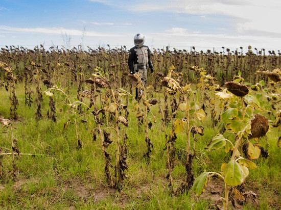 Worldrider Standing Sunflowers