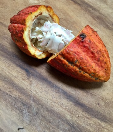 The Cocoa Fruit
