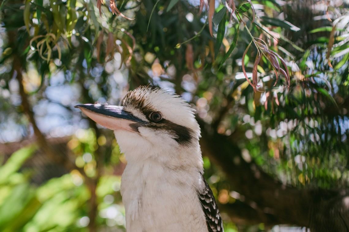 lone-pine-koalas_3009-4