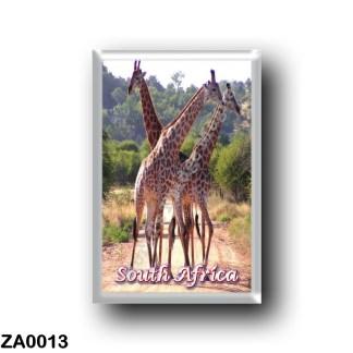 ZA0013 Africa - South Africa - Giraffes