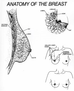 Breast Structure and parts