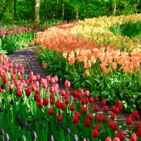 Keukenhof Gardens of Holland - Picking the Perfect Time of Year to See Millions of Flowers in Bloom