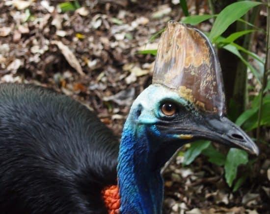 cassowary queensland