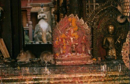 golden temple rats (550x355)