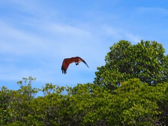 red backed sea eagle ( brahniny kite) Port Douglas