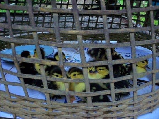 ducklings 550 vang vieng