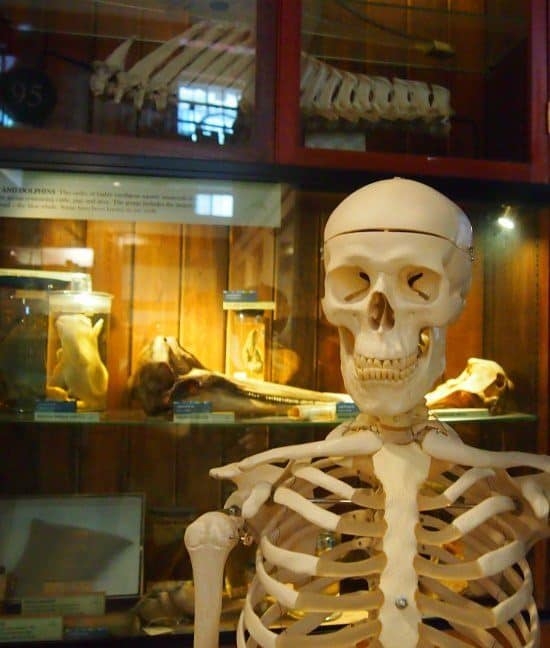 human skeleton at grant museum of zoology london