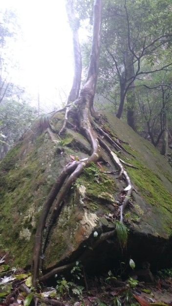 Great roots on a stone