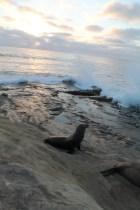 Sunset sea lion watching the waves crash