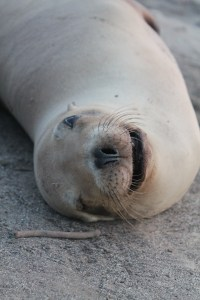 sea lion smiling on the beach