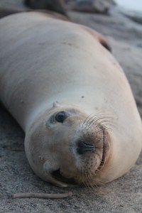 Beige sea lion laying on it's side on the beach looking into the camera