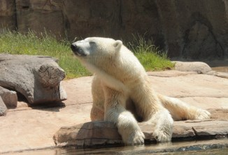 Polar bear leaning towards the sun as he grasps a log laying by the water