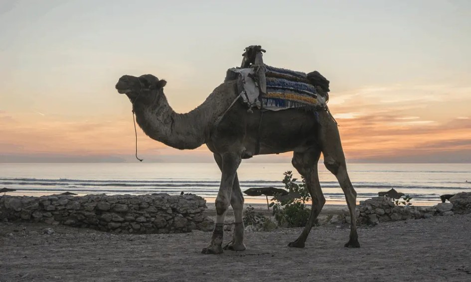 Cheap beach holiday Morocco - Depicts Camel in Essaouira