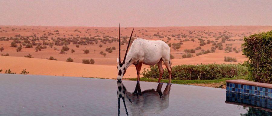 oryx_drinking_al_maha_desert_resort_dubai_worldtravlr_net