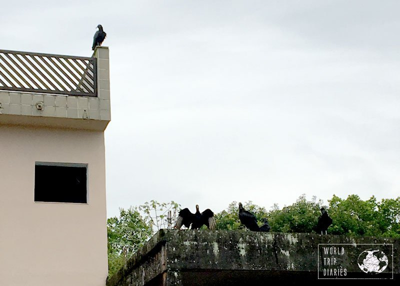 vultures cananeia brazil