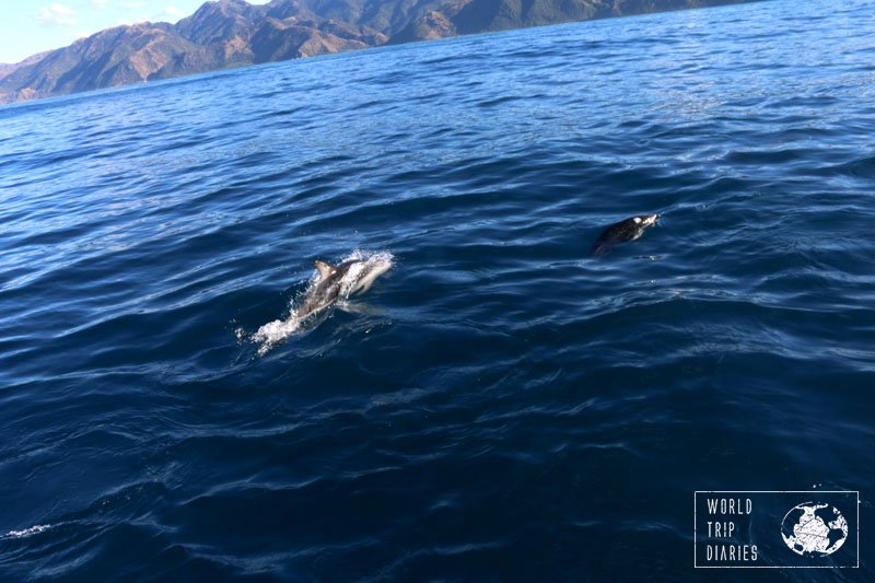 dusky dolphins at kaikoura whale watch