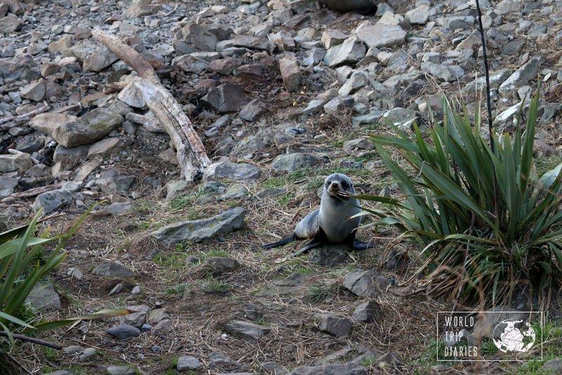 Seal Colony, Ohau Point, Kaikoura, NZ, World Trip Diaries