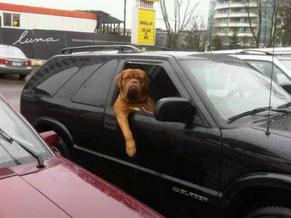 Mastiff-in-car-funny