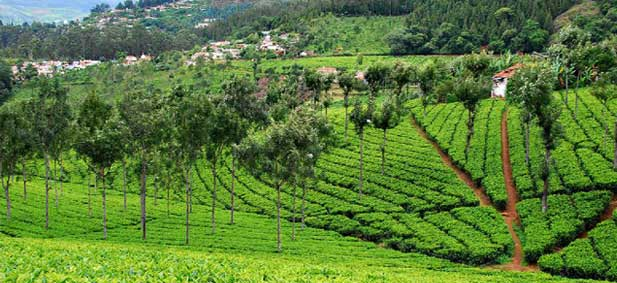 tea-gardens in coonoor
