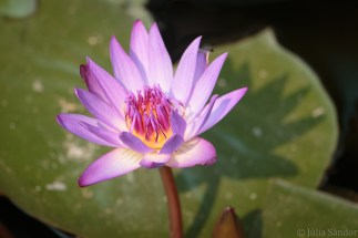 Lotus flower - symbol of Buddhism