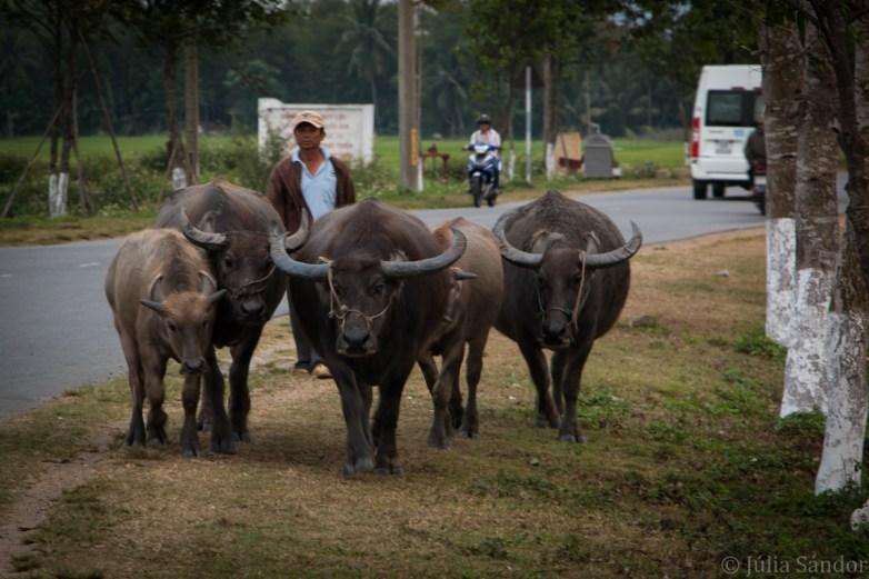 Buffalos marching