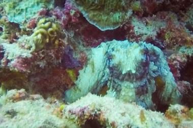 Not a bunny: octopus