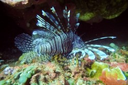 Lionfish - do not touch!