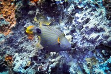 Triggerfish on the move