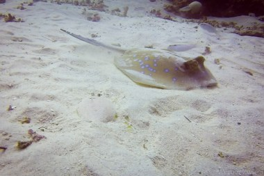 Do you find the flunder next to the sting ray?