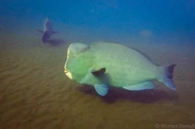 Bumphead parrotfish - 1,5 meters