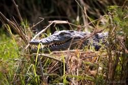 Crocodile from close