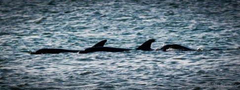 Dolphins in the Lagoon of Walvisbai