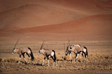 Oryxes in the desert
