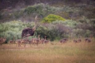 Ostrich kindergarten