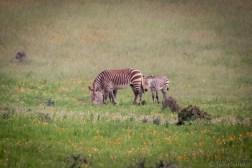 Hartmann zebra with baby