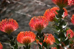 Proteas blooming