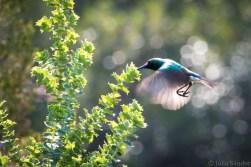 Sunbird eating