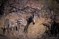 Zebras in the morning sun