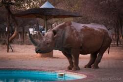Botswana, black rhino