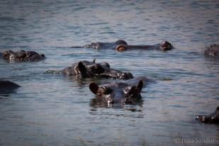 Hippos in the hippo pool