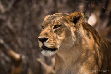 Botswana, Moremi, lioness