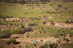 Botswana, Okavango delta buffalos