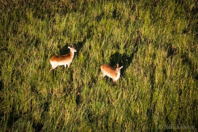 Waterbucks in the delta