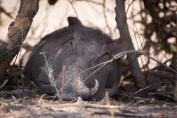 Warthog siesta