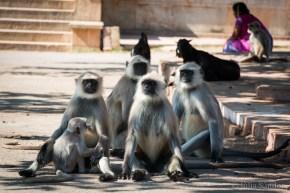 India impressions: MOnkeys in Chittorgarh Fort