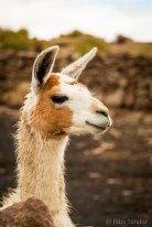 "Llamas allegedly get ""dangerous"" when they pull their ears back (right before spitting) - so no worries with this one."