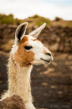 """Llamas allegedly get """"dangerous"""" when they pull their ears back (right before spitting) - so no worries with this one."""