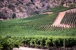 Casablanca Valley is one of the young wine regions of Chile with real premium wine