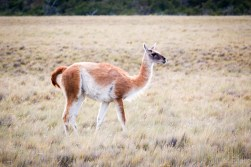 Guanaco in the Pampas